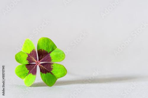 Closeup of four leaf clover as sign for hope