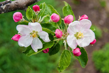 On The Apple Tree, Two Flowers...