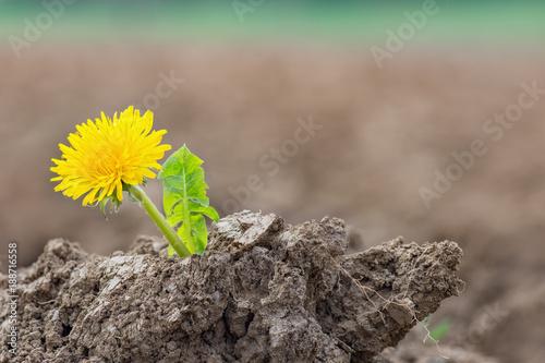 Löwenzahn (Taraxacum) wächst in der Erde am Feldrand