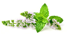 Fresh Peppermint Flower And Le...