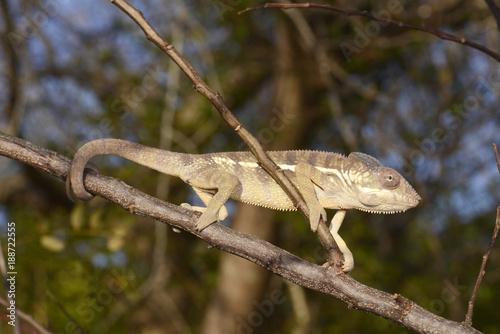 Poster Chamaleon Pantherchamäleon (Furcifer pardalis) - Panther chameleon / Madagaskar
