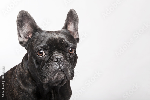 Tuinposter Franse bulldog Funny studio portrait of the dog black french bulldog isolated on the white background