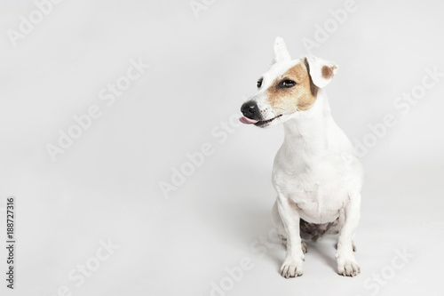 Studio portrait of the licking funny dog Jack Russell Terier on the white backgr Canvas Print