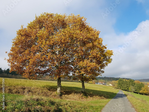 Eichenbaum Quercus Robur Herbst Buy This Stock Photo And