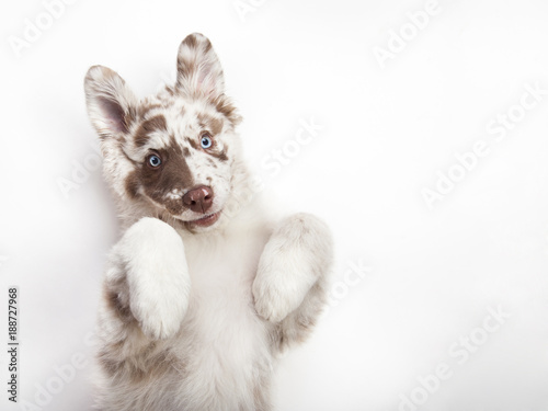 Photo  The puppy of Australian Shepherd is lying on his back giving a paw