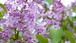 Beautiful lilac flowers with the leaves