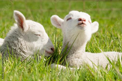 Frühling - zwei süße Lämmer genießen die warmen Sonnenstrahlen zu Ostern