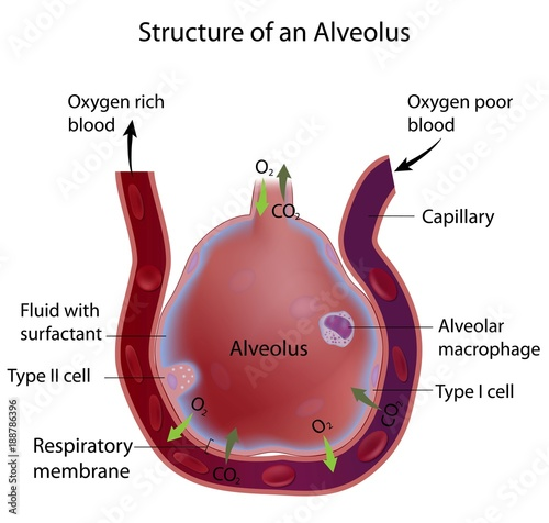 Structure of an alveolus - Buy this stock illustration and explore ...