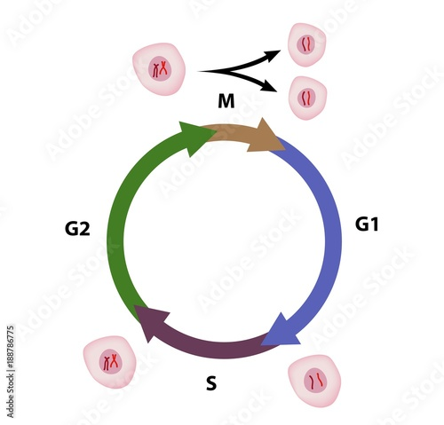 Obraz na plátne Cell cycle