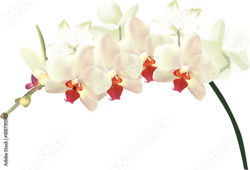 beautiful light yellow orchids isolated on white © Alexander Potapov