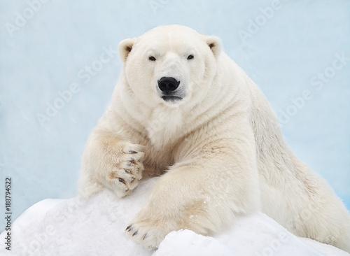 Deurstickers Ijsbeer Белый медведь лежит на снегу.