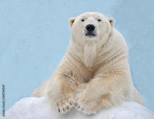 Staande foto Ijsbeer Белый медведь лежит на снегу.