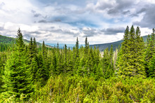 Fir Trees And Pine, Mountain F...