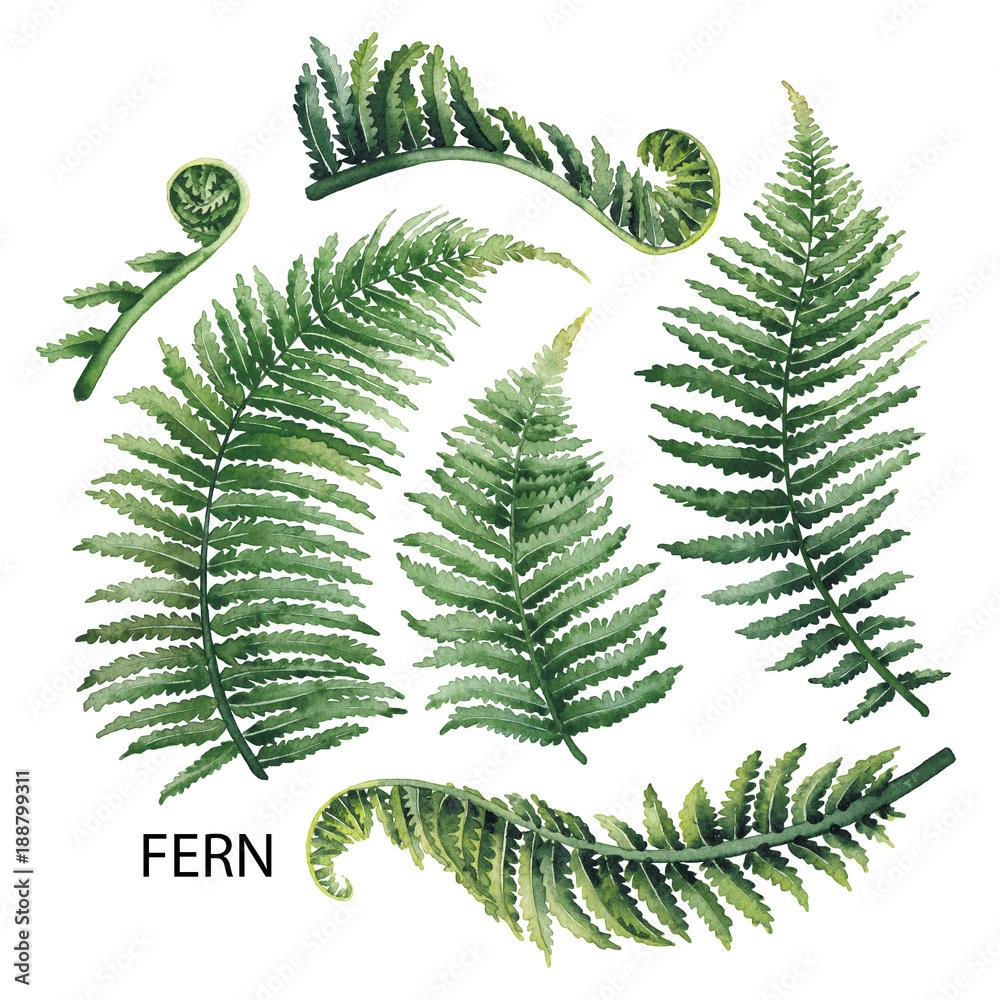 Fototapeta Watercolor fern leaves