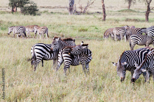 Foto op Aluminium Hyena Zebra species of African equids (horse family) united by their distinctive black and white striped coats in different patterns, unique to each individual in Serengeti, Tanzania