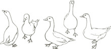 A Flock Of Gray And White Geese.
