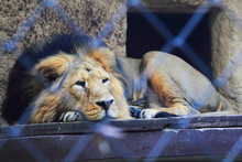 Lion Si Resting In The Cage