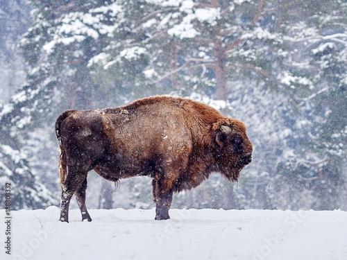 Foto op Canvas Bison European bison (Bison bonasus) in natural habitat in winter