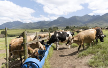 Blanco Near George Western Cape South Africa. December 2017. Dairy Cows Feeding And Drinking On A Farm At Blanco.