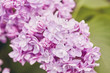 Spring flowers - blooming lilac flowers