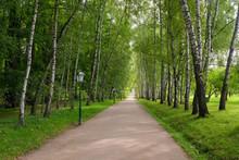Beautiful Avenue Of Birch Tree...