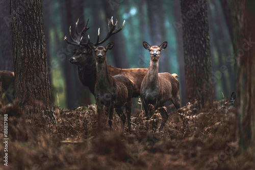 Fotografie, Tablou Red deer hind and stag in autumn forest