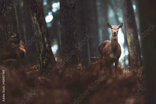 Photo  Red deer hind in autumn forest. North Rhine-Westphalia, Germany