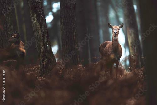 Fotografia, Obraz  Red deer hind in autumn forest. North Rhine-Westphalia, Germany