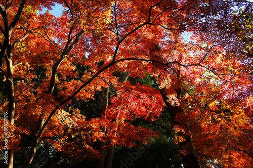 Poster Jardin 六義園の紅葉