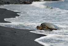 A Huge Sea Turtle On The Beach...