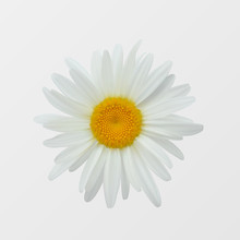 Camomile Flower Isolated Close-up