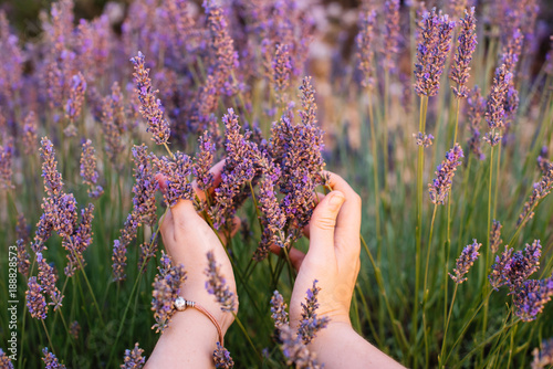 Woman touching blossoming lavender in the lavender field with her hands, first person view, Provence, south France