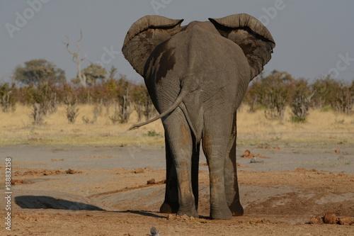 Fotobehang Olifant Elephant in Africa