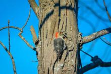 Red-bellied Woodpecker On A Tree
