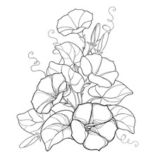 Vector Bouquet With Outline Ipomoea Or Morning Glory Flower Bell, Leaf And Bud In Black Isolated On White Background. Perennial Climbing Plant In Contour Style For Summer Design And Coloring Book.
