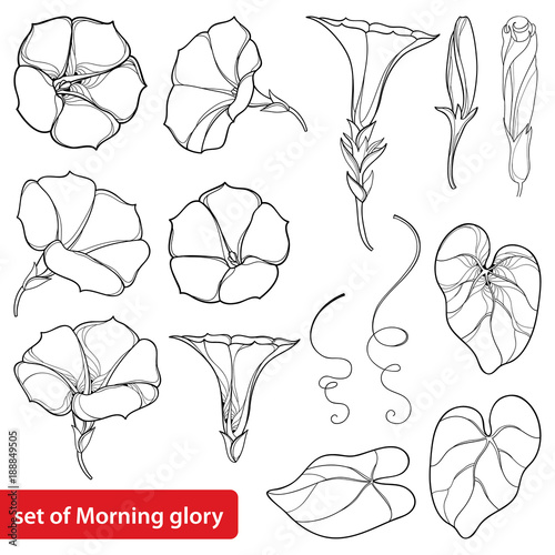 Tablou Canvas Vector set with outline Ipomoea or Morning glory flower bell, leaves and bud in black isolated on white background