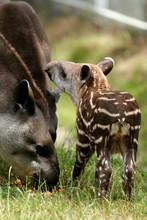 Young Brazilian Tapir With Par...