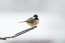 Carolina Chickadee In A Snow S...