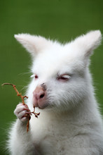 Albino Red Necked Wallaby Eati...