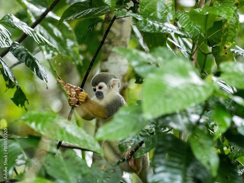 Saimiri sciureus, Common squirrel monkey, is relatively abundant, River Napo, Ya Canvas Print