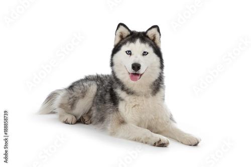 Fotografía  chien husky sibérien femelle adulte yeux bleus sur fond blanc détouré