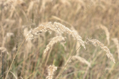 Fototapety, obrazy: peaked soft stars, crowning the golden top of the eared bushgrass. Closeup