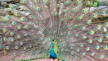 Indian Peacock Spreading Tail ...