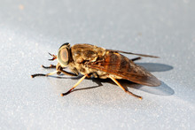 Horsefly.