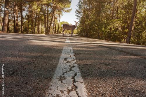 Foto op Plexiglas Ree Reh steht mittig auf der Straße