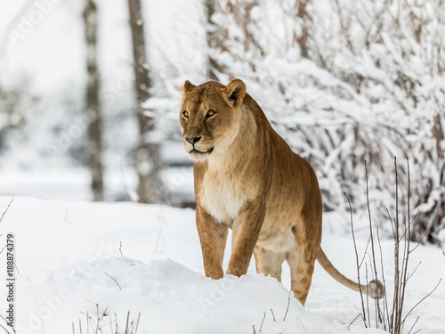 Fotografie, Obraz  Lion, Panthera leo, lioness standing in snow, looking to the left