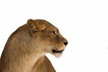 Lion, Panthera Leo, Lioness Portrait On White Background