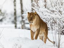 Lion, Panthera Leo, Lioness St...