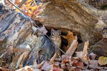 Hidden Striped Chipmunk