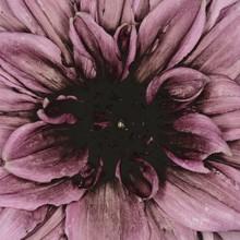 Close-up Of Dahlia Flower Petals